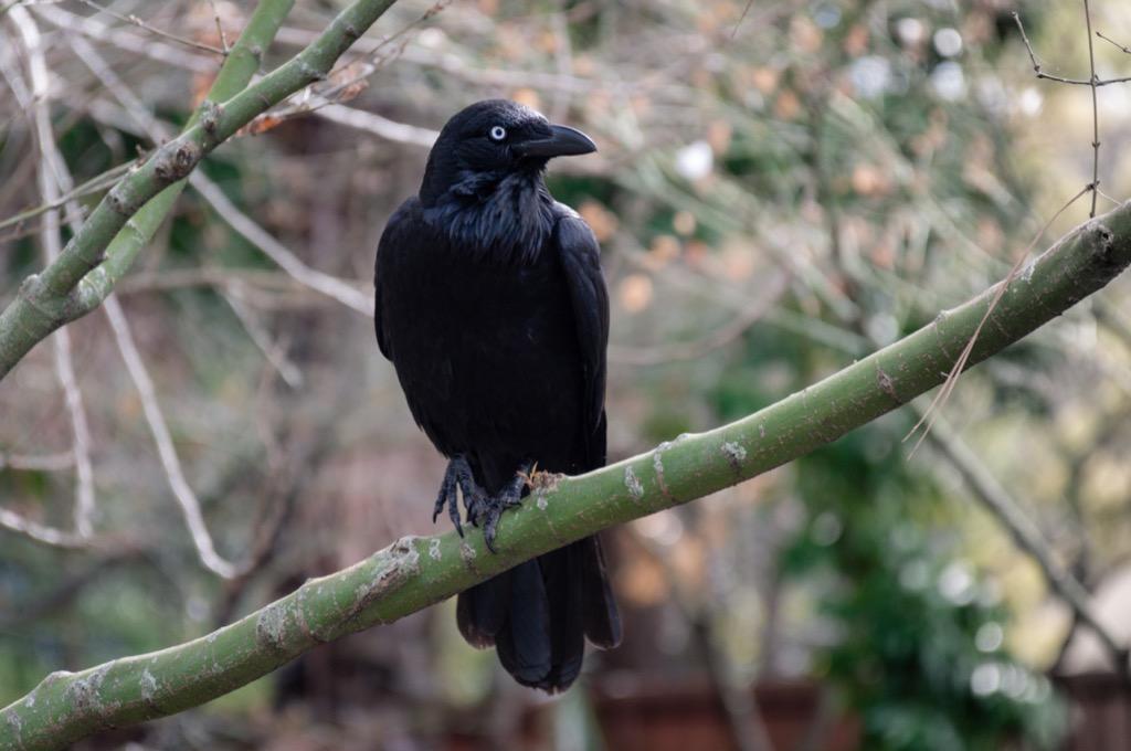 Raven Amazing Facts
