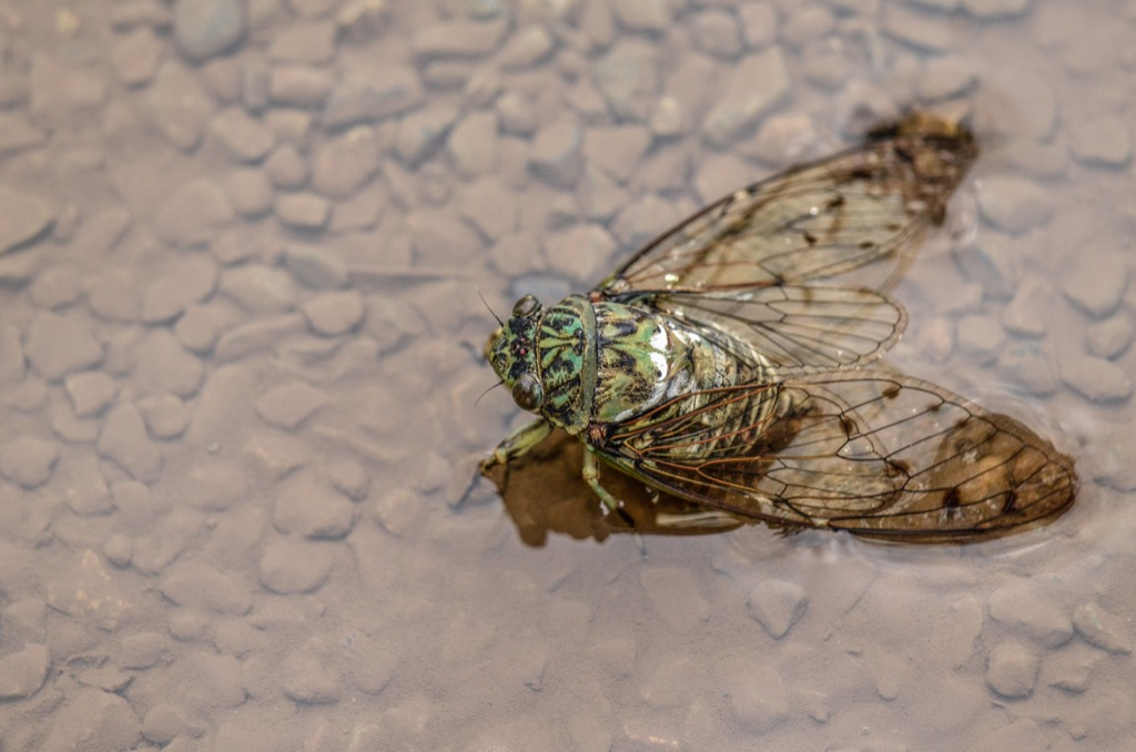 Cicadas Amazing Facts