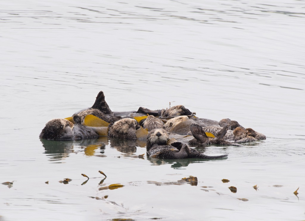 otters in raft Random Obscure Facts