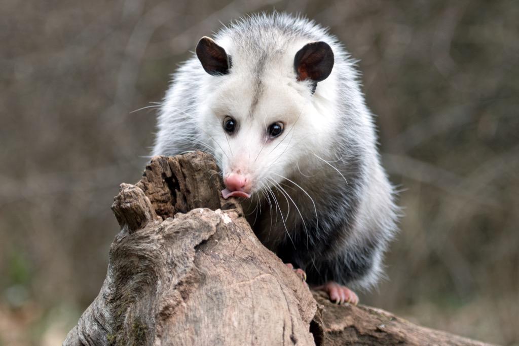 opossum Craziest facts