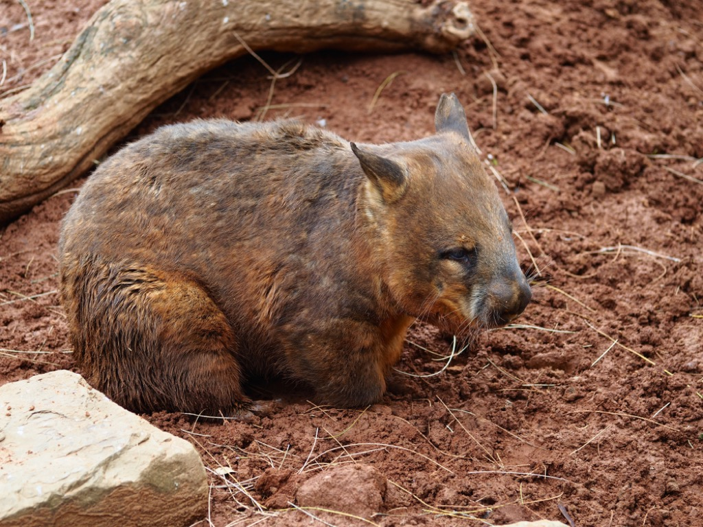 wombat animal facts