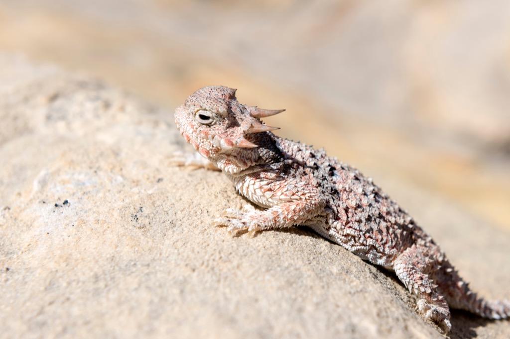 Desert Horned Lizard Facts about Life