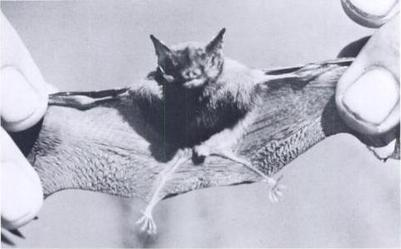 Kitti's Hog Nosed Bat Planet Earth Facts