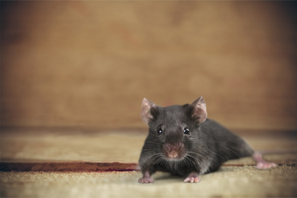 Mouse on a carpet - funniest jokes