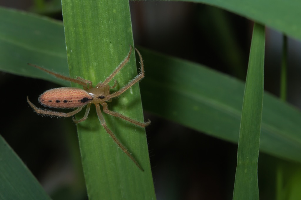 Orb Weaver Spider Facts about Life