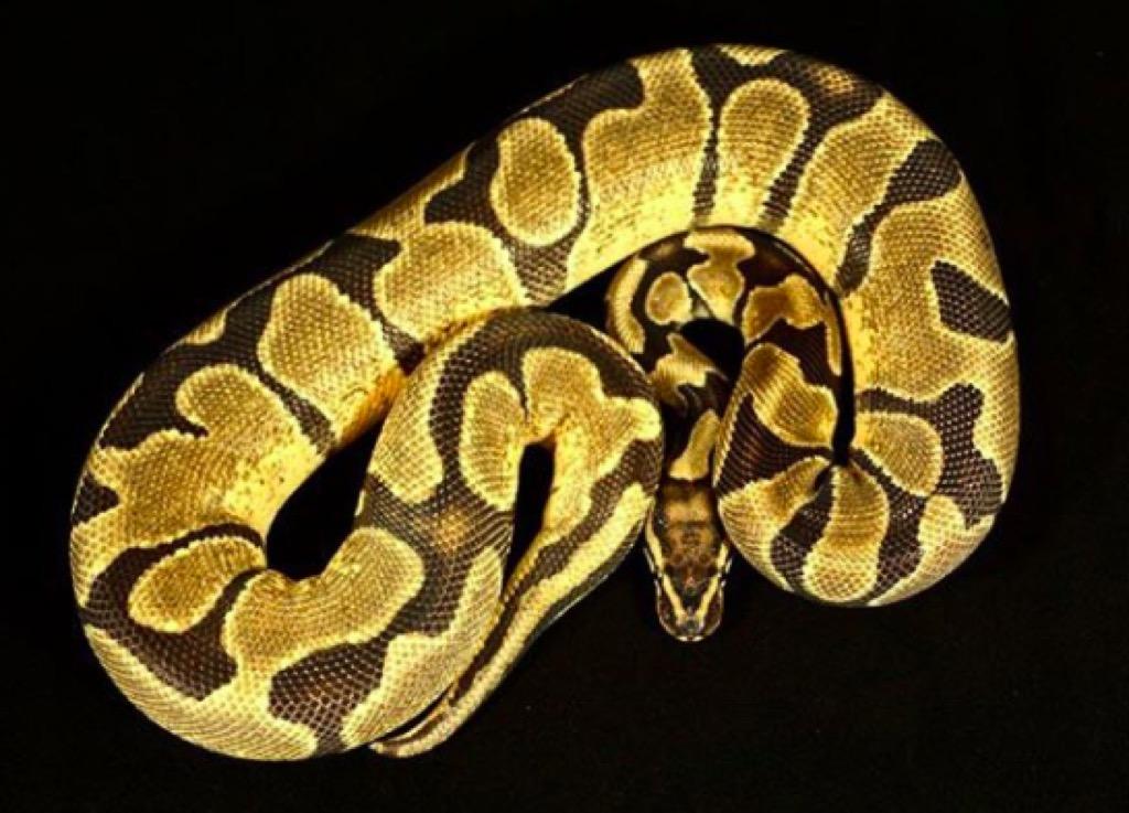 California Fair python food