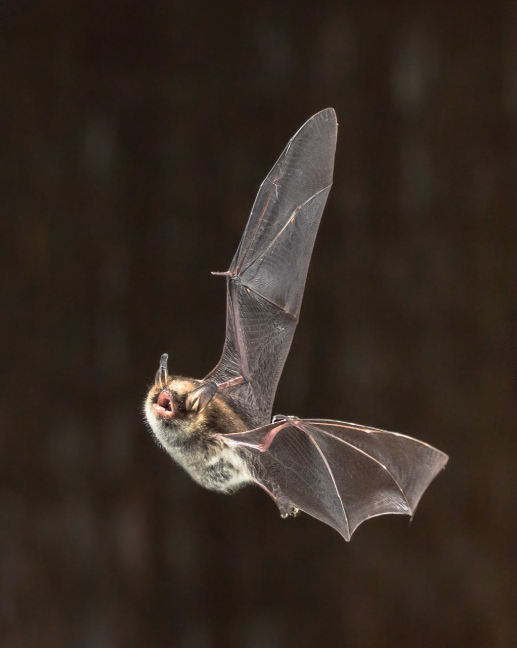 Vampire Bat Facts about Life