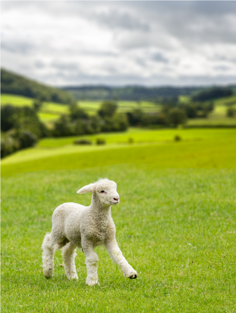 Baby Sheep Scientific Discoveries