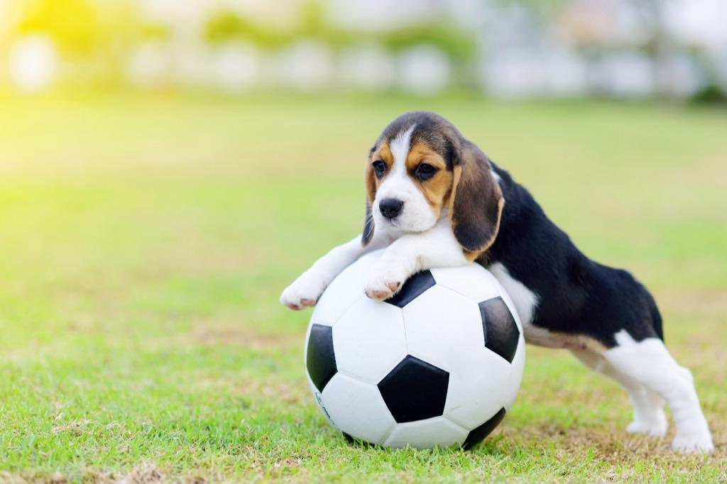 beagle with a soccer ball