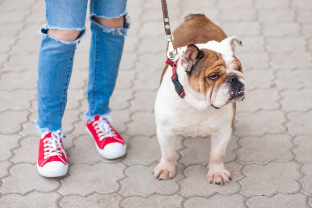 bulldog dog on a leash