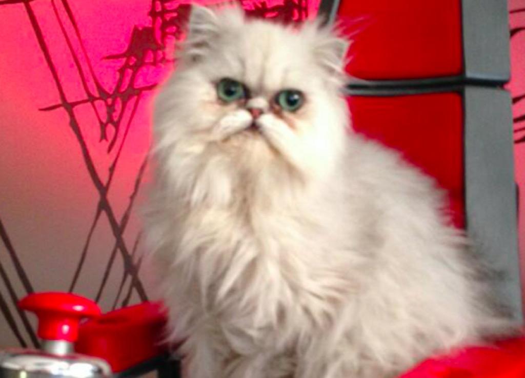 CeeLo Green Purrfect cat