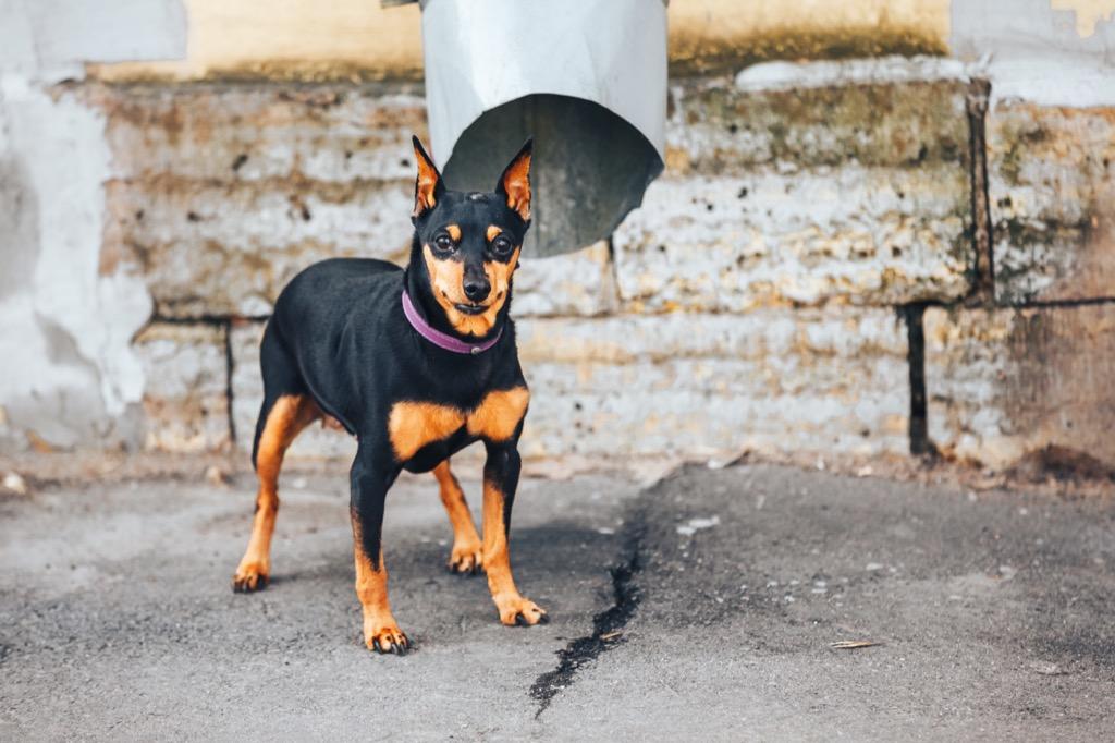 doberman pinscher dog - deadliest animals