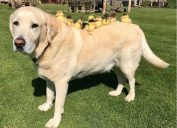 fred the dog adopts ducklings