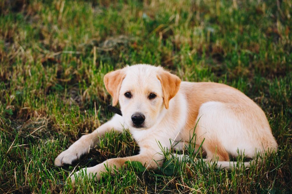 lab puppy lounging