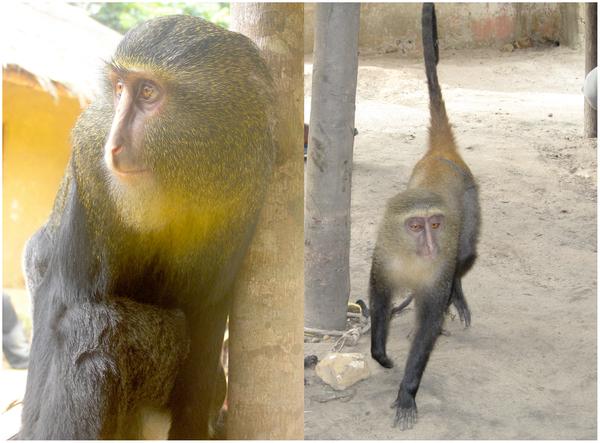 Lesula Monkey Scientific Discoveries