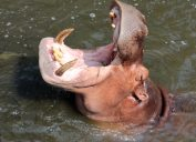 hippo with mouth open Astonishing Facts