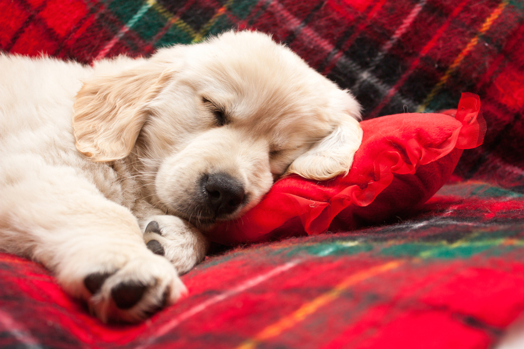 puppy sleeping on red pillow
