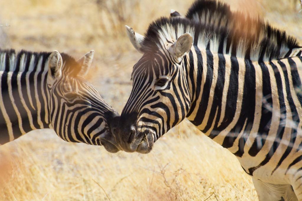 africa kenya zebras
