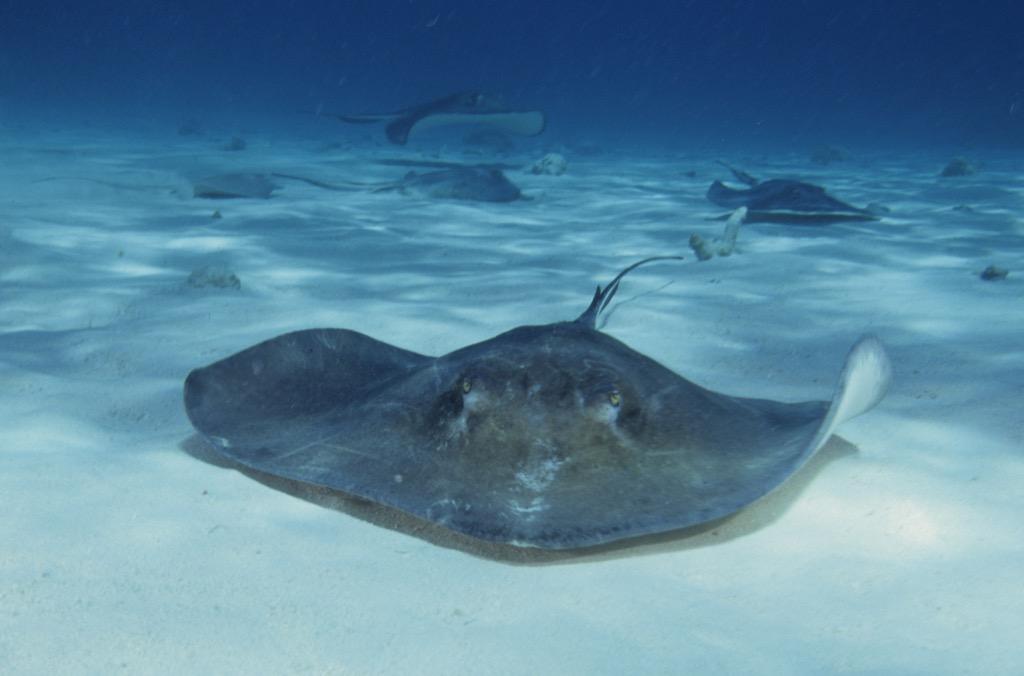 stingray Sea Creatures That Sting