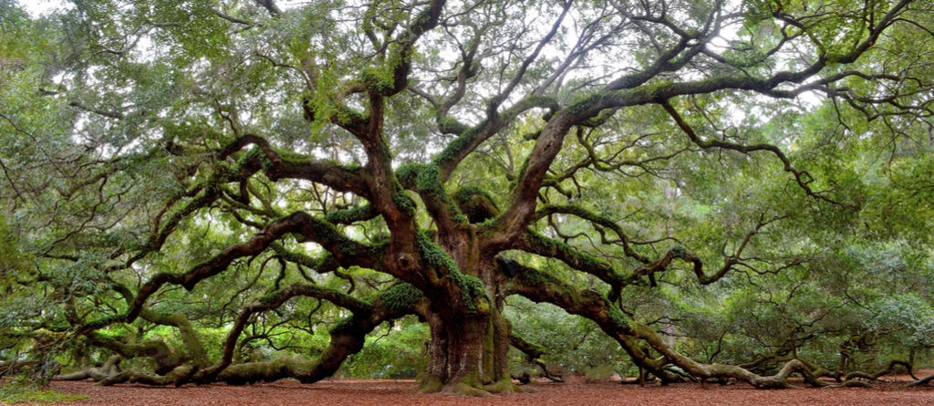 Angel Oak Tree Charleston Magical Destinations