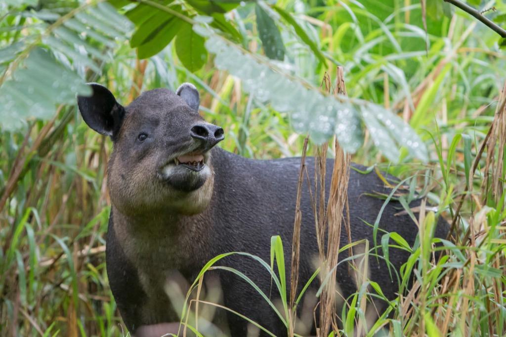 Baird Tapir national animal