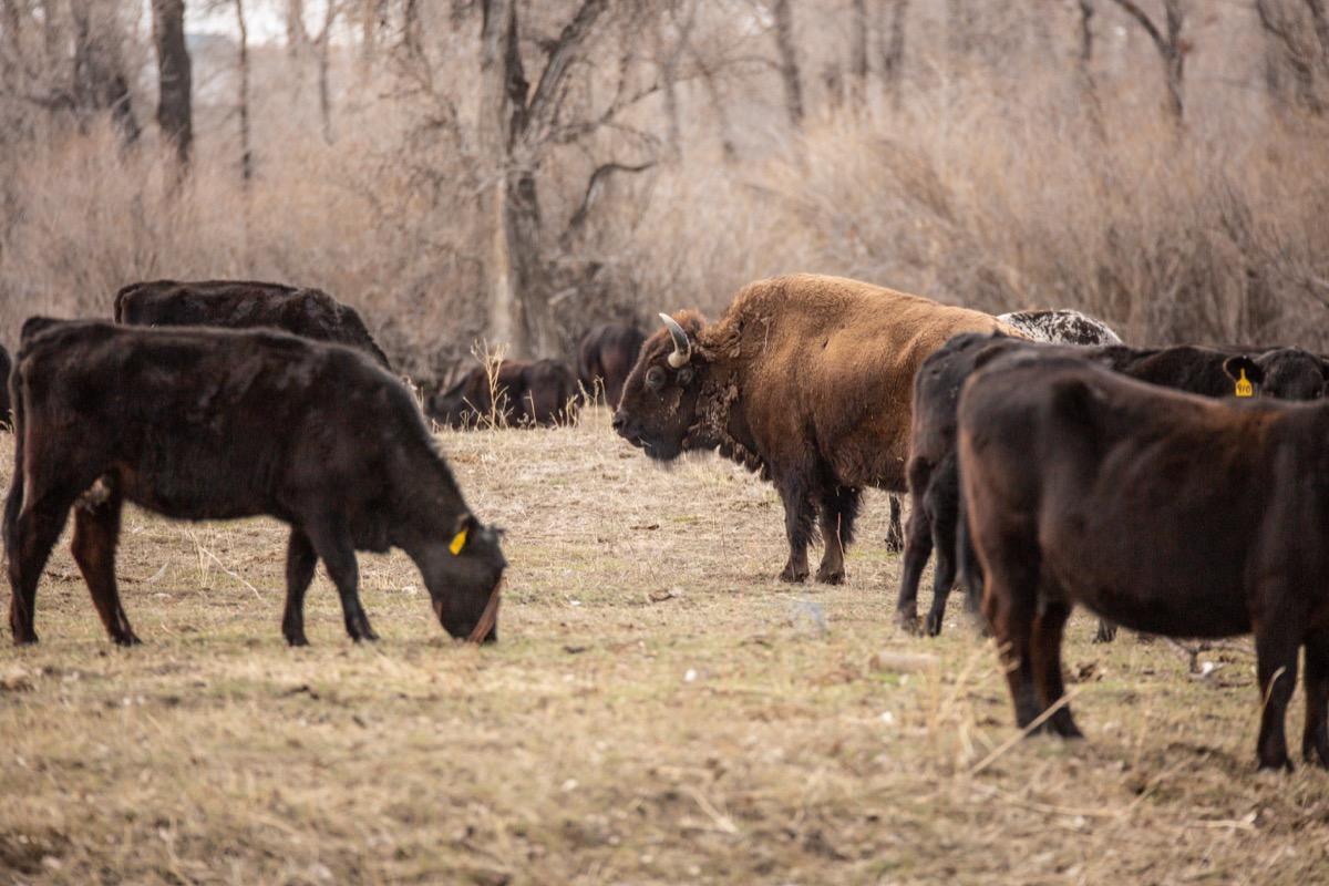 beefalo, astonishing facts