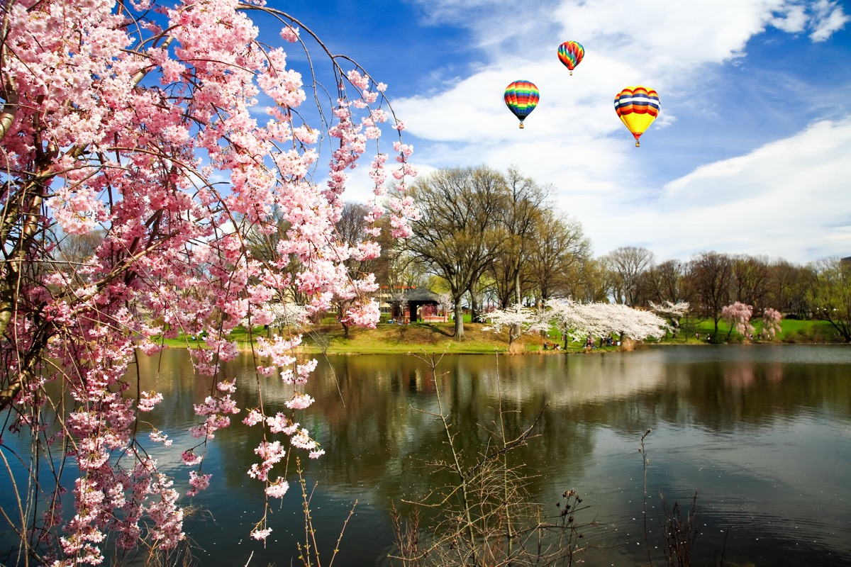 cherry blossoms in front of a lake with hot air balloons