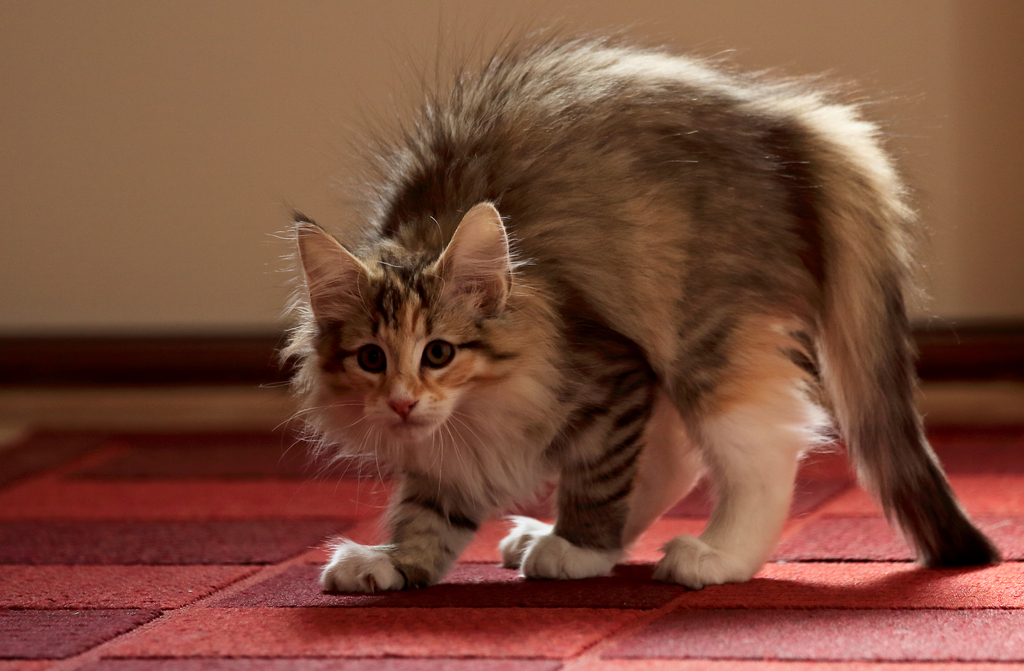 Cat with Back Arched, Hair Standing on End