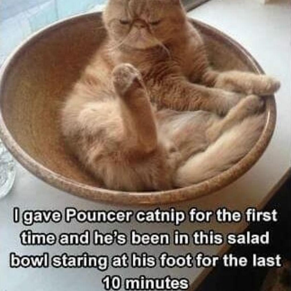 Catnip cat memes