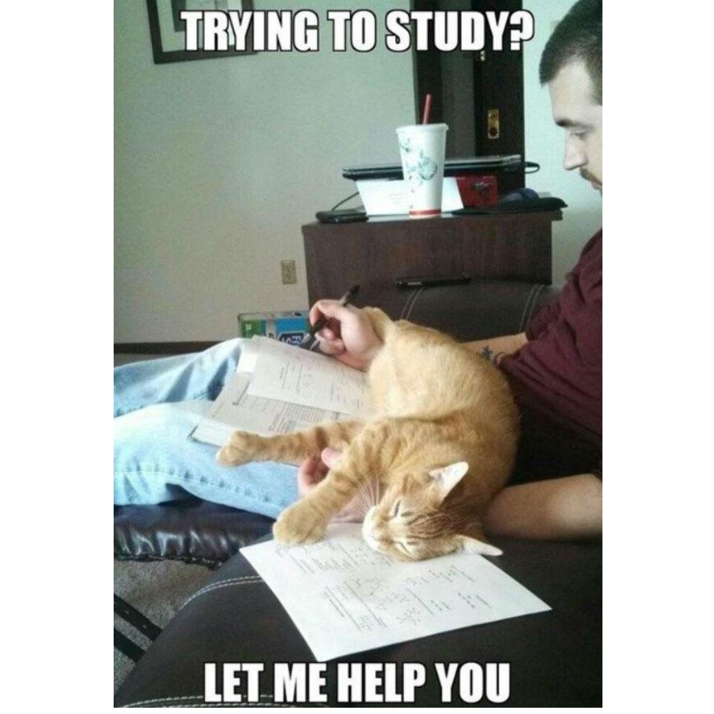 Studying cat memes