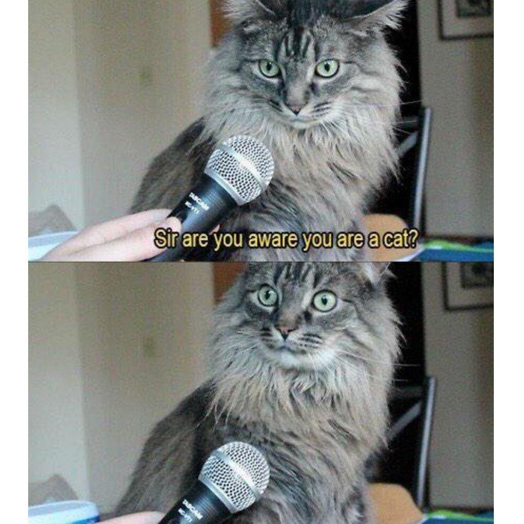 Surprised cat memes