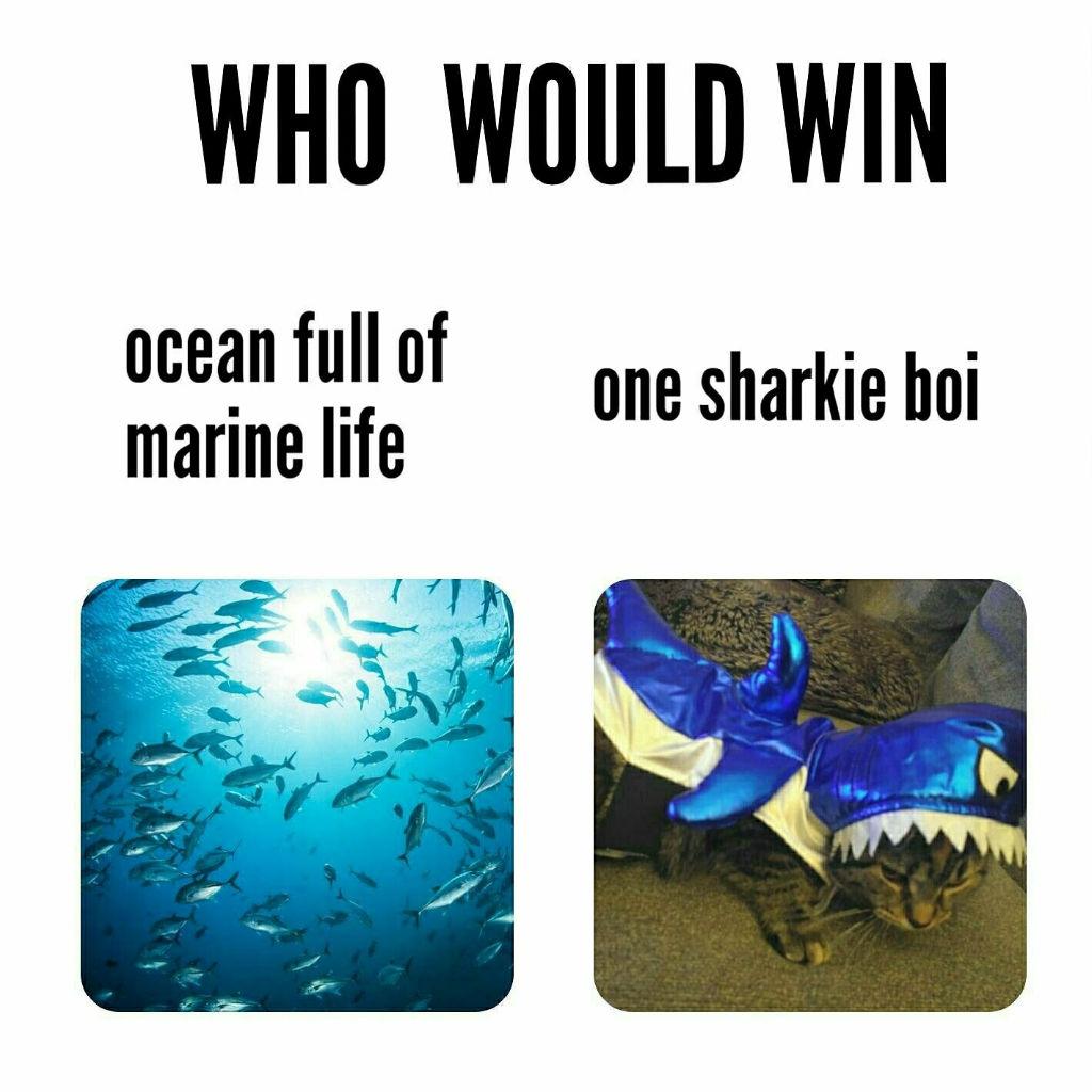 sharkie cat memes