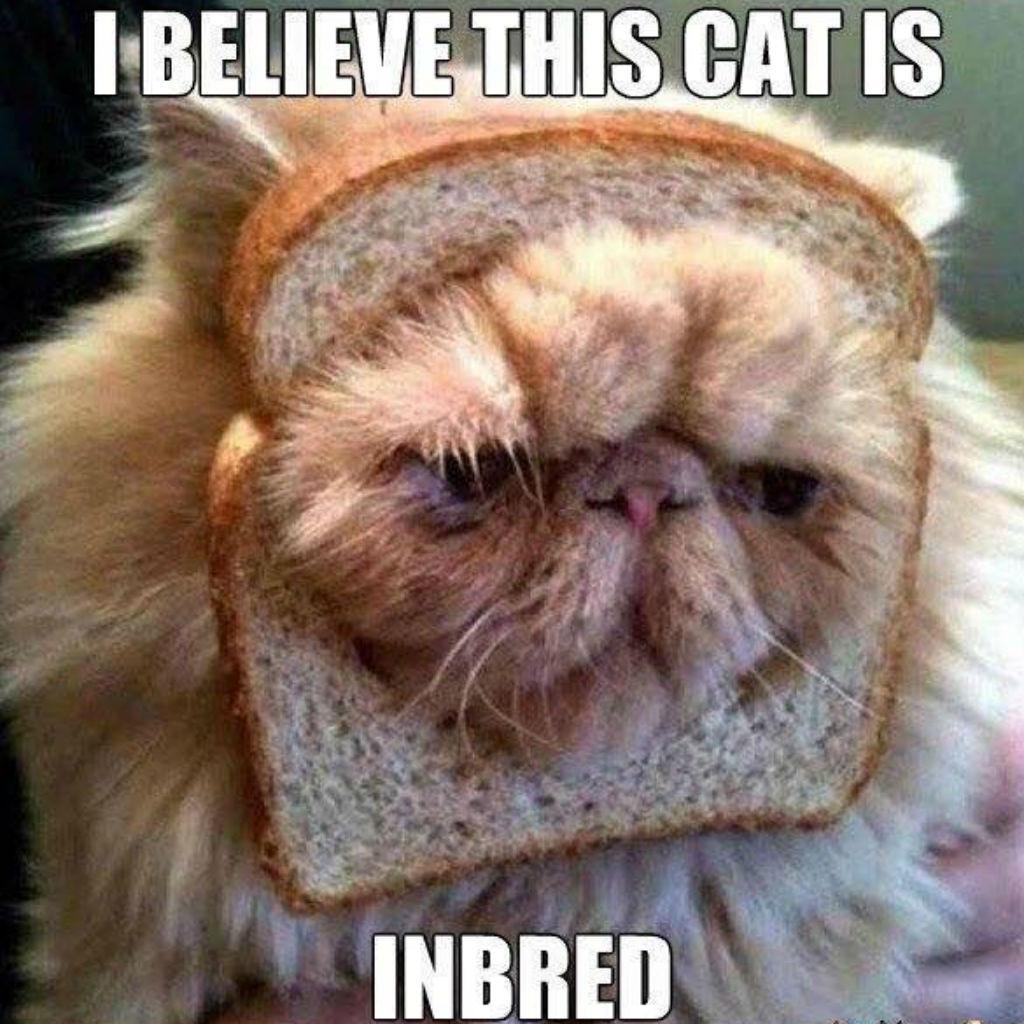 Inbred cat memes
