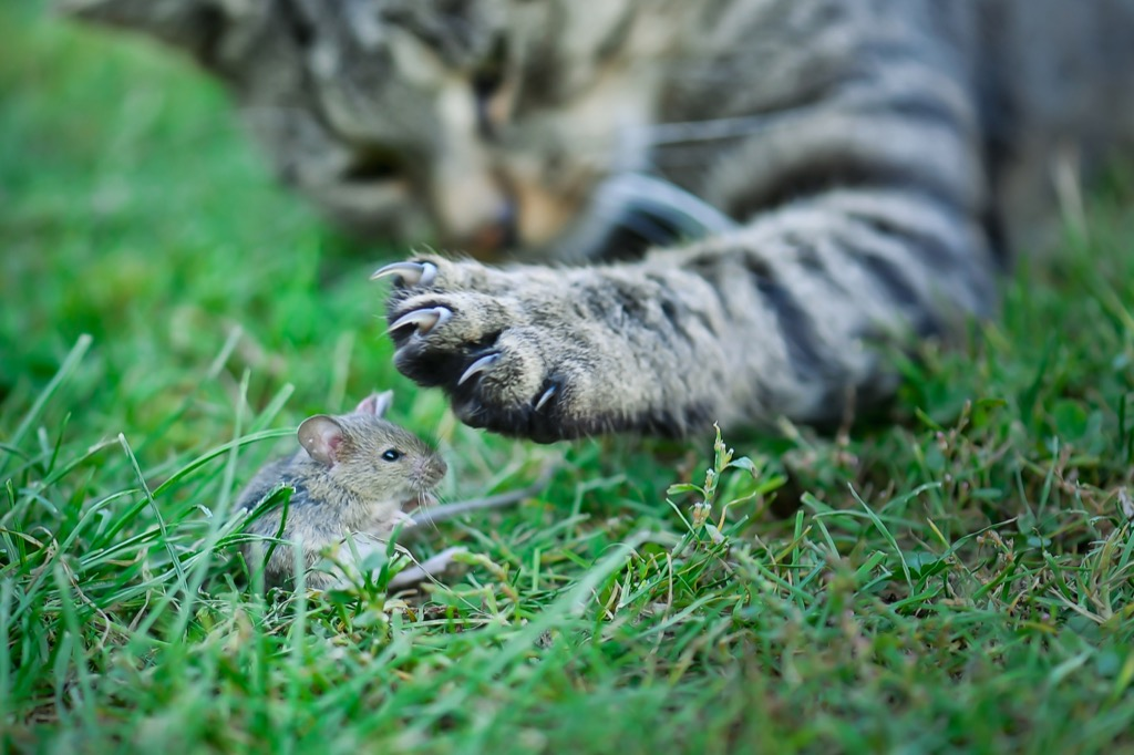 cat about to slaughter a field mouse why cats are better than dogs