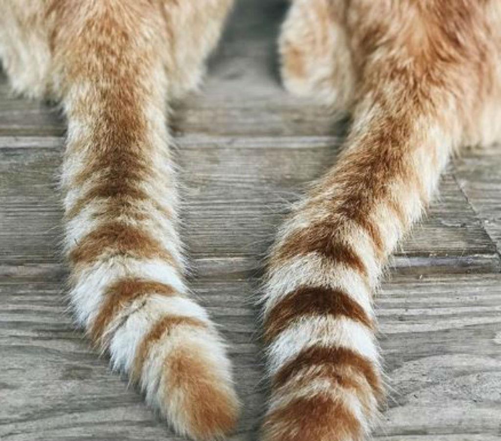 tails sign of cat affection - cat puns