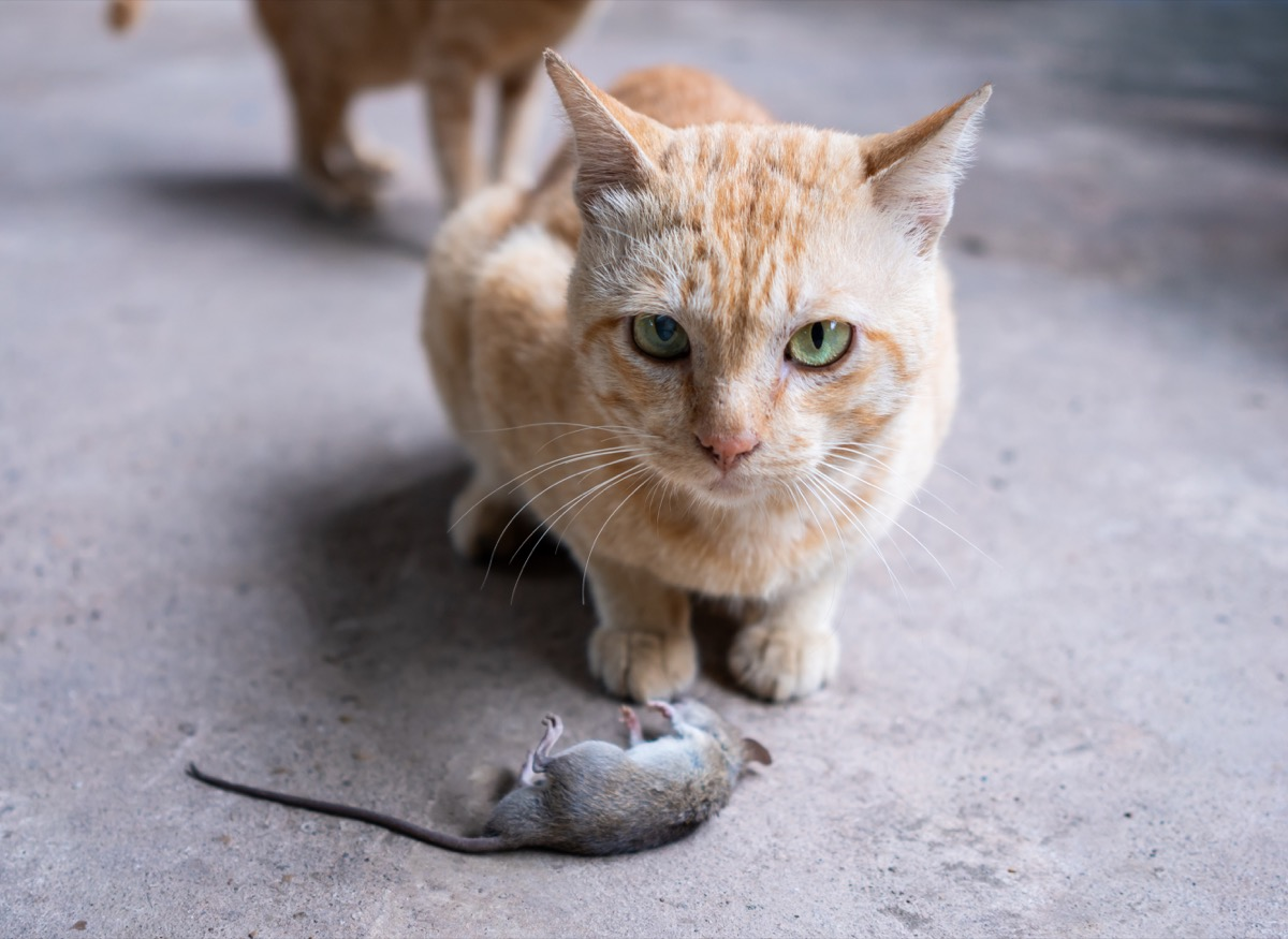cat hunting a mouse in the house.