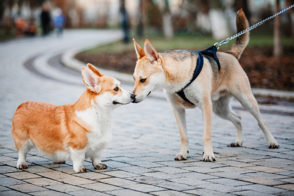 corgis are friendly and love other dogs