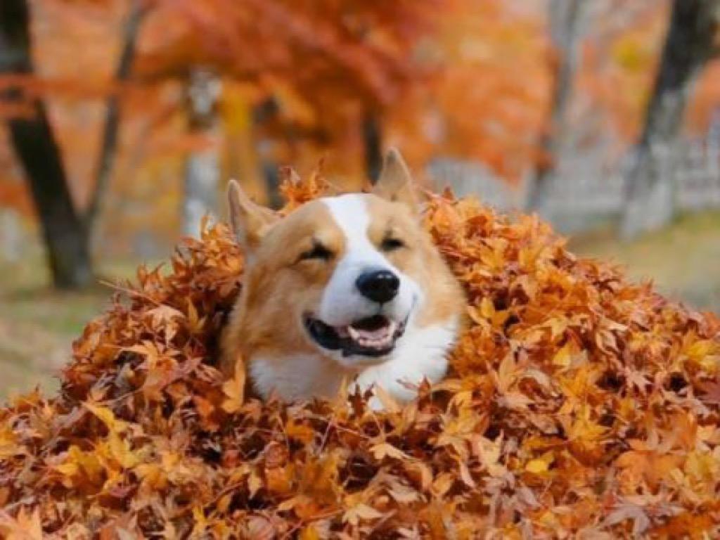 corgi in leaves