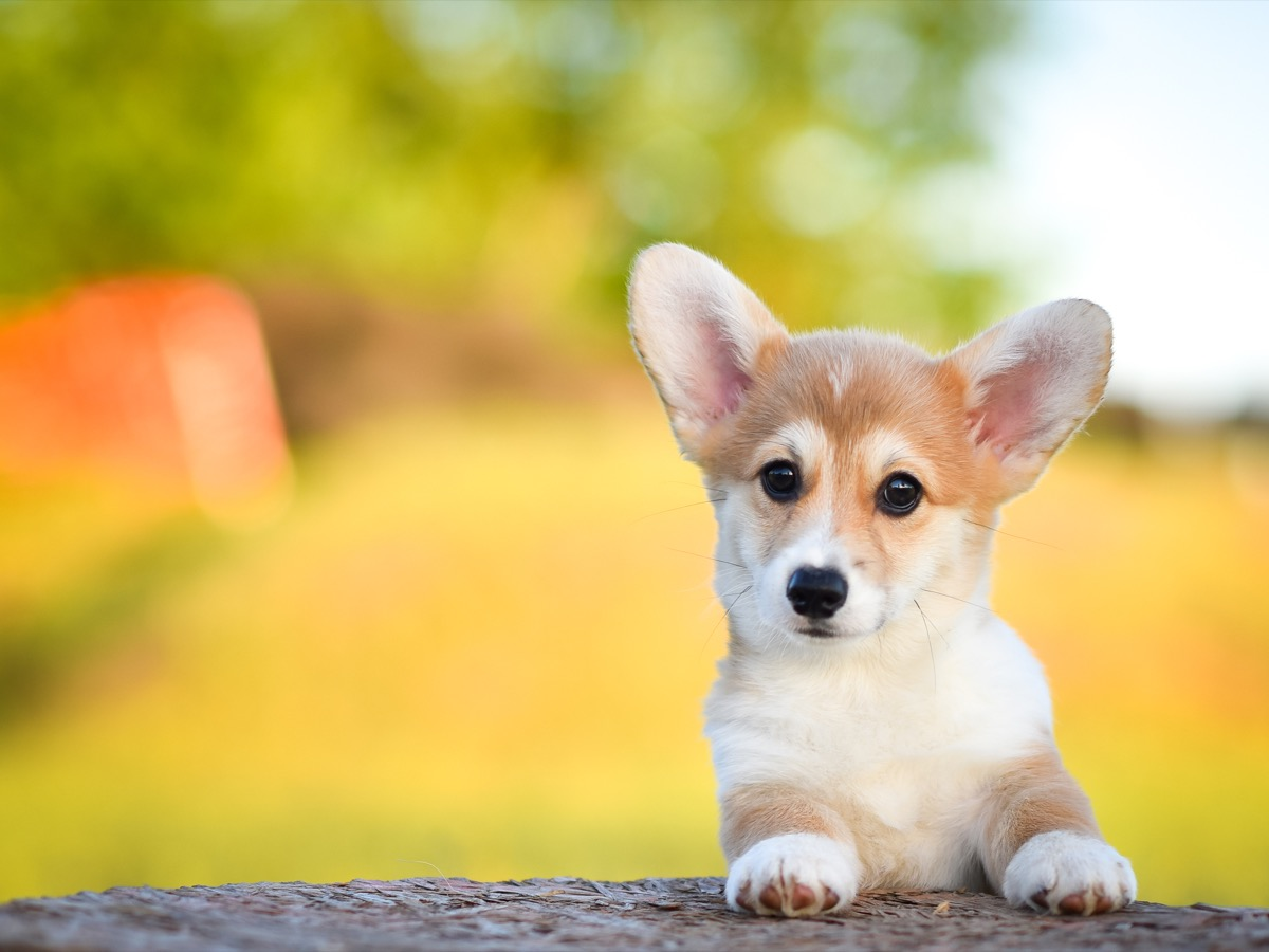 corgi puppy looking over a fence