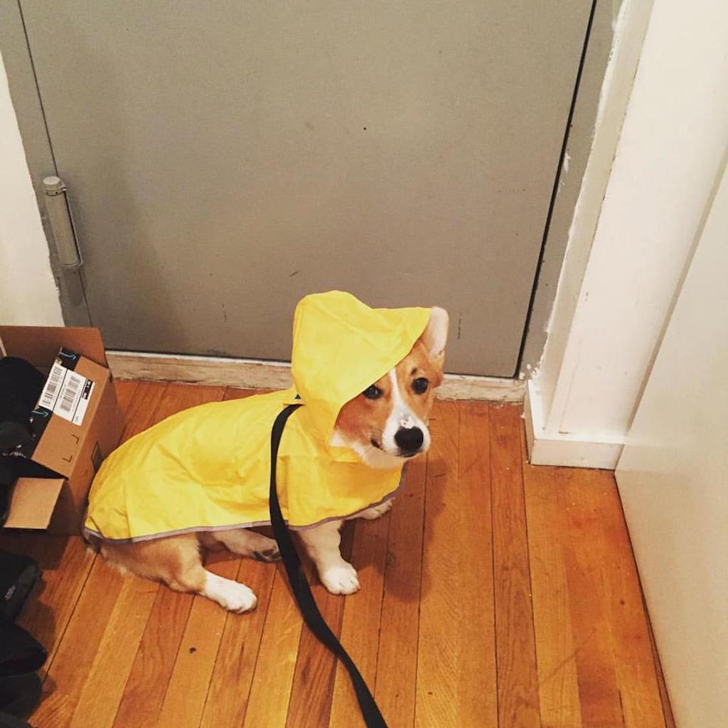 sherlock the corgi in raincoat
