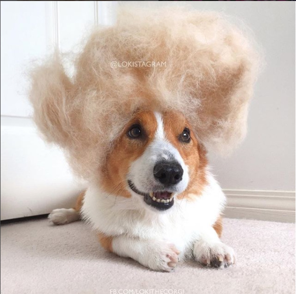 Loki the corgi wears wig of his shedded fur.
