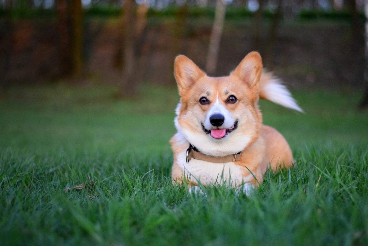 corgi sitting in the grass