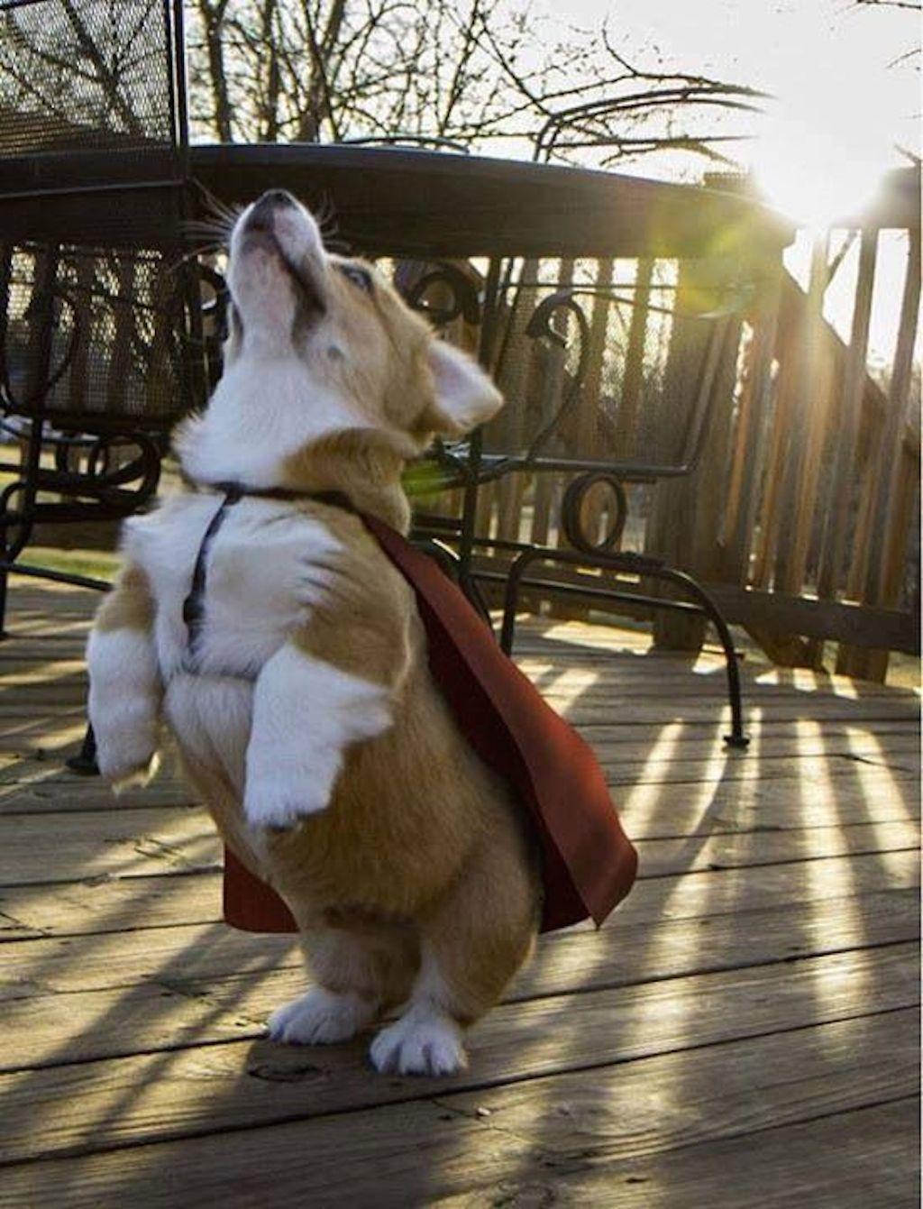 corgi does superman
