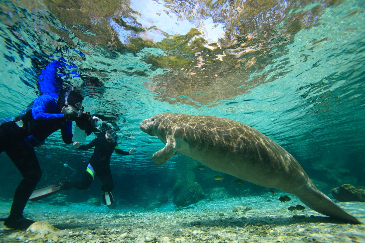 divers swimming with manatee