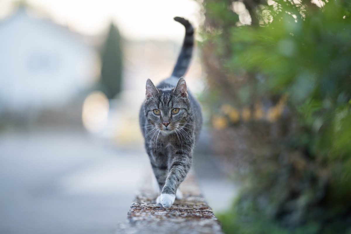 tabby domestic shorthair cat walking over a low mural looking at camera curiously