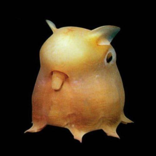 [Image: dumbo-octopus-01.jpg?resize=500,500&qual...&strip=all]