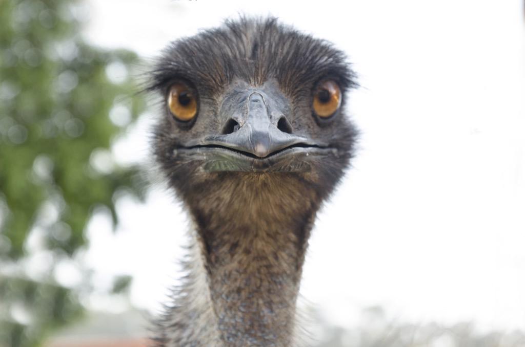 Emu bird national animal
