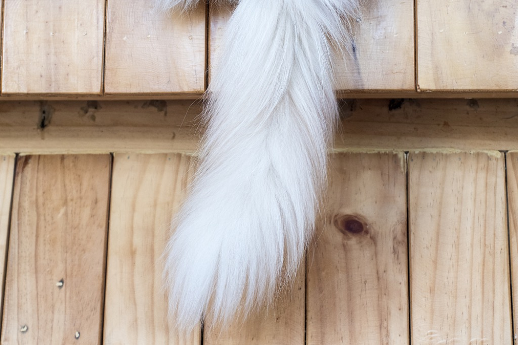 fluffing tail cat signs of affection