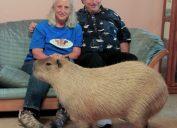 Gary the Pet Capybara Craziest Pets