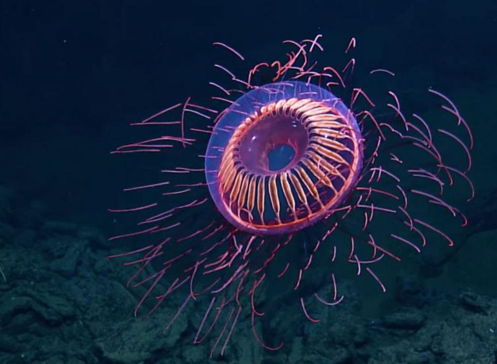 Halitrephes Massi sea creature